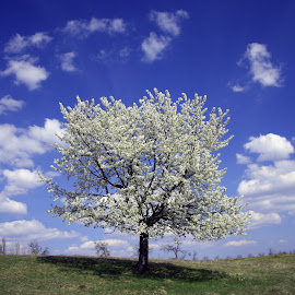 Spring time by Marius Turc - Nature Up Close Trees & Bushes ( sky, romania, spring, flower )