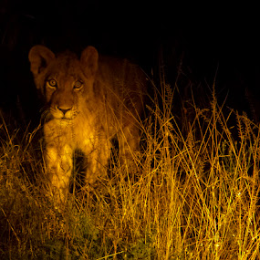 by George Watson - Animals Lions, Tigers & Big Cats