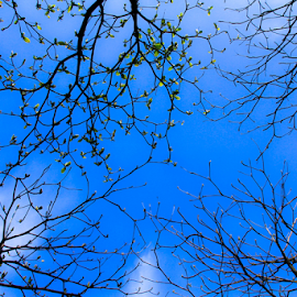 Quadrant  by Sadat Hossain - Nature Up Close Trees & Bushes ( sky, tree, blue, leaf, leaves, azure )