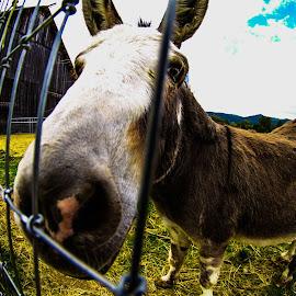 Hey Donkae! by Antal Ullmann - Animals Other ( farm, fence, corel, donkey, fall )