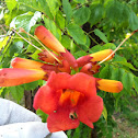 Cow-itch / Trumpet Vine