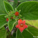 Tiny Red Tubular Wildflower