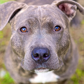 Lola at the shelter.... by Martha Pope - Animals - Dogs Portraits ( pittie, shelter, adopt, foster, rescue, pit bull, dog, deaf )