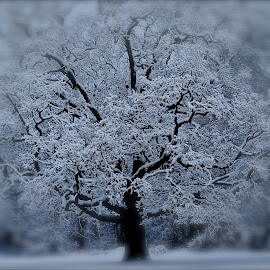 Winter Storm by David W Hubbs - Nature Up Close Trees & Bushes ( winter, nature, tree, ice, snow,  )