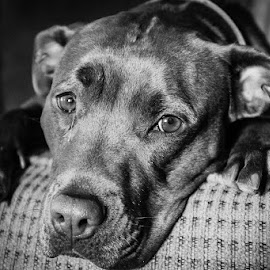 Martha by Stephen Klein - Animals - Dogs Portraits ( black and white, pitbull, high contrast, dog, portrait )