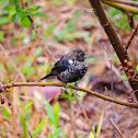 Tiziu(Blue-black Grassquit)