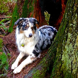 Aussie in the Rain Forest. by Aaron Bushkowsky - Animals - Dogs Portraits