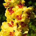 Dense-flowered mullein