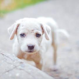 Little Lovely Puppy by Shako Mamukashvili - Animals - Dogs Puppies ( dogs, lovely, little, puppy, photo, animal )