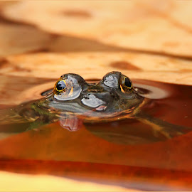 Autumn Frogs by Dennis Ba - Animals Amphibians ( autumn leaves, frog, silver lake, pond )
