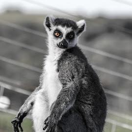 Lemur by Dylan Barlow - Novices Only Wildlife ( north wales, colwyn bay, welsh mountain zoo, wales, lemur, cymru )