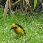 black necked weaver