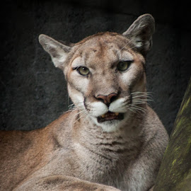 Puma by Mary Phelps - Animals Lions, Tigers & Big Cats ( memphis, zoo, tennessee, memphis zoo, puma )