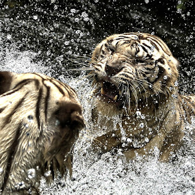 by Milla Kantola - Animals Lions, Tigers & Big Cats