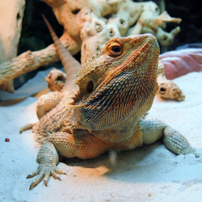 Dragon at Rest by Jamie Boyce - Animals Reptiles ( lizard, scales, florida, texture, aquarium, dragon, reptile, bearded dragon,  )