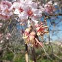 Olive Tree Flowers