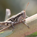 Southern Coast Bush Grasshopper