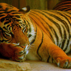 Groggy Tiger by Brianne Nguyen - Animals Lions, Tigers & Big Cats ( san diego zoo, tiger, sleeping, stripes, groggy )