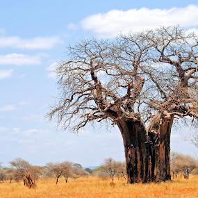Dead tree by Jaliya Rasaputra - Nature Up Close Trees & Bushes ( tree, tanzania,  )