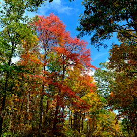 White Oak Mountain Colors by Don Condley - Landscapes Forests ( national forest, ozark national forest, autumn, appleton, colors, forest, ozarks, landscape, leaves, arkansas )