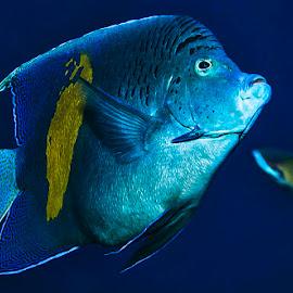 Wanna blue? by Sinisa Mrakovcic - Animals Fish