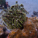 Schlegel´s Feather Star