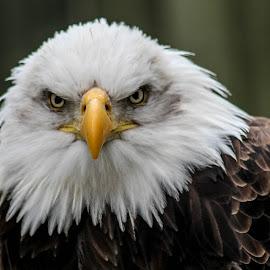 Dollar by Garry Chisholm - Animals Birds ( bird, garry chisholm, eagle, nature, wildlife, prey, raptor, bald )