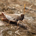 Slant-headed Grasshopper