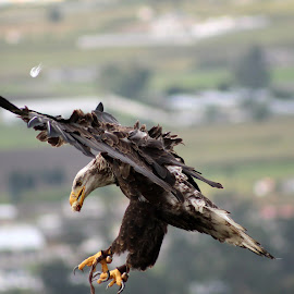 Flying Eagle by Robert Hamm - Animals Birds ( otavalo, bird of prey, eagle, ecuador, bald eagle, american bald eagle, bird, hunter, carnivore, nature, fly, outdoor, raptor, bird sanctuary,  )