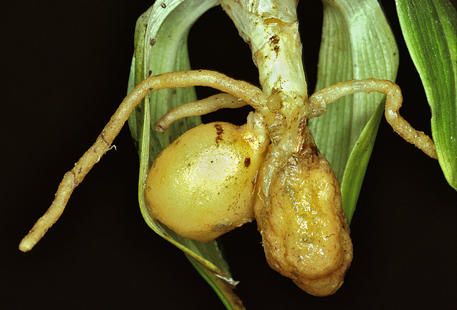 Órganos subterráneos de Ophrys sp.