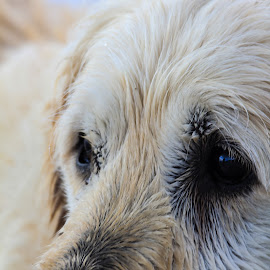 JJ Up Close by John Cope - Animals - Dogs Portraits ( dog, retreiver )