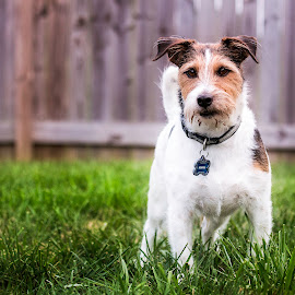 The Look by Shawn Klawitter - Animals - Dogs Portraits ( look, jack russell, pet, outdoors, dog )