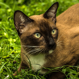 Brown Cat by Ariya Namwong - Animals - Cats Portraits ( bangkok, benjasiri park, cat, nature )