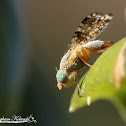 Sourbush Seed Fly
