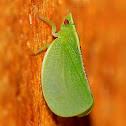 Red-eyed flatid planthopper