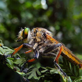 robberfly by Hendrata Yoga Surya - Instagram & Mobile Android ( insects, lalat robber, robber, robber fly, robberfly )