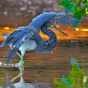 Tri colored heron by Alan Potter - Animals Birds (  )