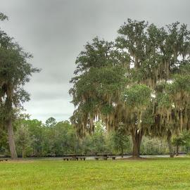 Mossy Oak by Barton Bishop - Landscapes Prairies, Meadows & Fields ( tree, florida, oak, milton, moss, blackwater, landscape, river )