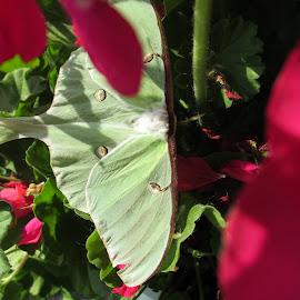 Adult Luna Moth by Joseph Zullo - Nature Up Close Gardens & Produce ( diversity, maturity, beauty, rare opportunity, lovegood )