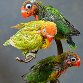 Love birds by Sigit Purnomo - Animals Birds