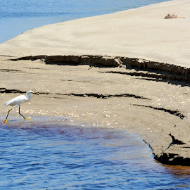 Looking for food by Leslie-Ann Boisselle - Novices Only Wildlife ( bird, sand, feeding, white, beach, egret )