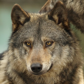 European Wolf by Selena Chambers - Animals Other Mammals ( wolf, eye contact, stare, european wolf, animal )