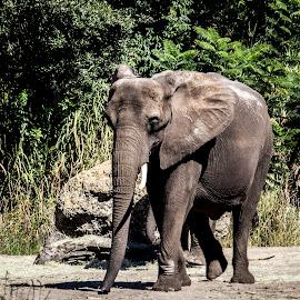Elephant by Autumn Callahan - Animals Other Mammals ( elephants, african elephant, elephant, safari, afica )