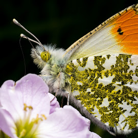 Orange Tip on Flower by Ryan Morris - Animals Insects & Spiders ( butterfly, macro, feeding, closup, insect, flower,  )