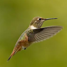 by Sheldon Bilsker - Animals Birds ( bird, park, nature, hummingbird, animal )