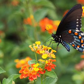 Black Butterfly on Orange by George Holt - Animals Insects & Spiders ( orange, butterfly, yellow, swallowtail, flower, black )