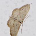 Scopula? Moth