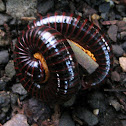 Unidentified Millipedes