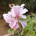 Ivy-leaf geranium