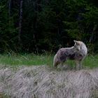 Coyote near Jasper